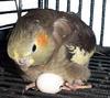 Ninfa incubando huevo