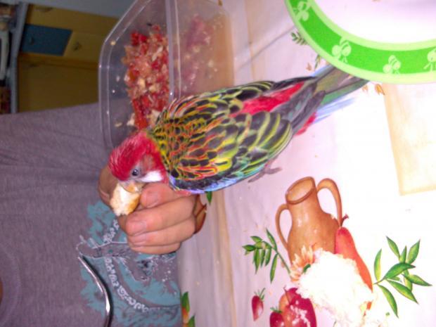 mi rosella...que colorido!!