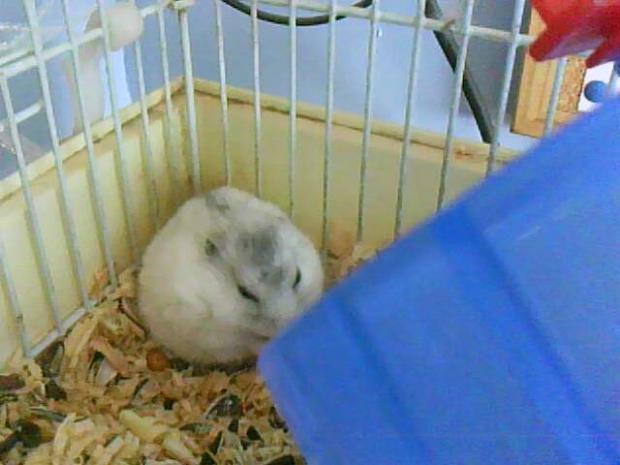bendo hamsters españoles
