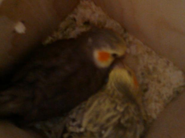 ninfas en el nido