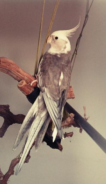 Queria saber si por el plumaje del gris se puede saber si es macho o hembra