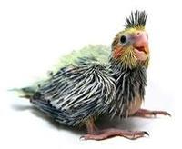 Ninfa polluelo 3 semanas