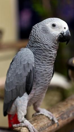 Loro gris de cola roja