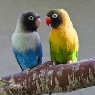 Agapornis macho y hembra