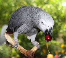Yaco comiendo fruta