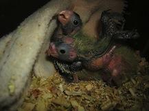 Dos polluelos de ninfa en el nido