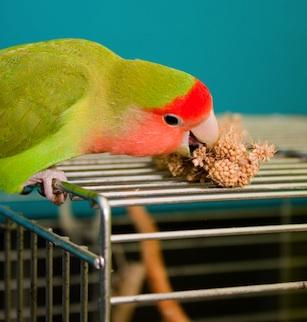 Agaporni comiendo mijo