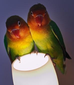 Pareja de agapornis en una lampara