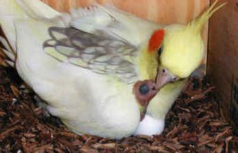 Ninfa con polluelo
